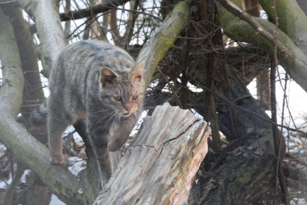 Wildkatze im Nationalpark Thayatal