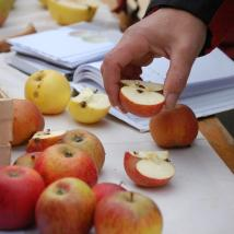 Obstbaumsortenbestimmung am Obstbaumtag